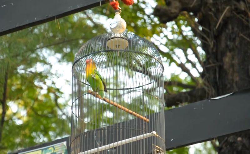 Harga Lovebird Marco Rp 500 Juta (YouTube.com)