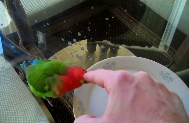 Manfaat Air Garam Untuk Lovebird dan Cara Pemberian yang Benar
