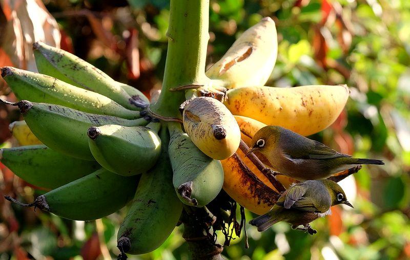 4 Resep Saripati Buah Pisang Untuk Gacorkan Burung Pleci