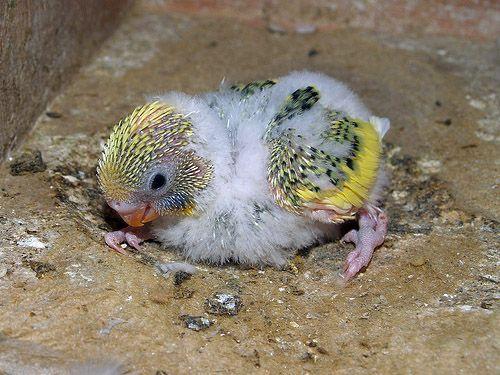 Anakan hasil silangan Lovebird dengan Parkit (avianavenue.com)