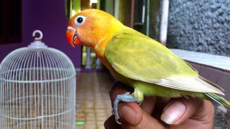 Cara merawat Lovebird Paud atau Balibu (youtube.com)