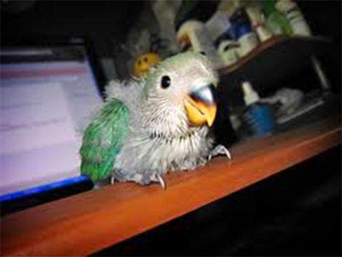 Hasil kawin silang Lovebird dengan Parkit (avianavenue.com)