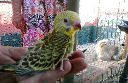 Hasil perkawinan Lovebird dan Parkit (avianavenue.com)