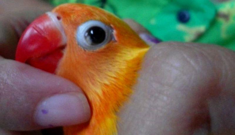 Cara mengobati Lovebird snot (youtube.com)