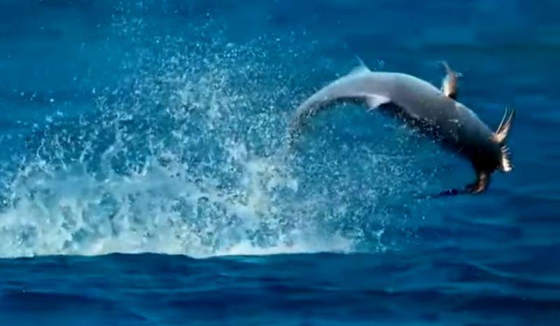 Ikan makan burung di udara (youtube.com)