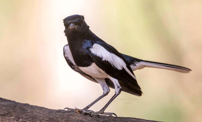 Latihan Burung Kacer siap dilombakan (birdsofgujarat.co.in)