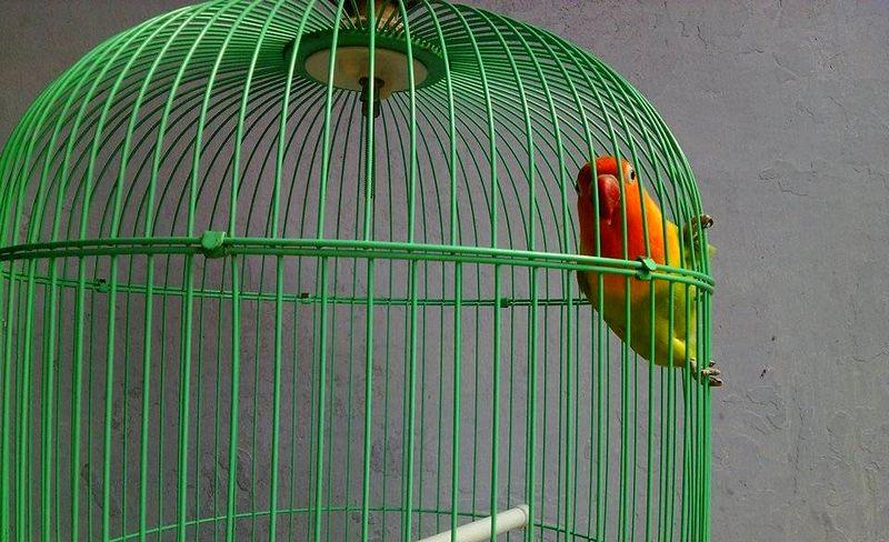 Lovebird ngetik dan mompa tidak mau ngekek (tipsburung.com)
