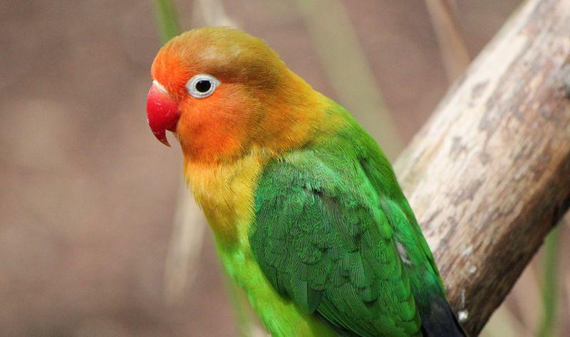 Lovebird paruh merah (birdeden.com)