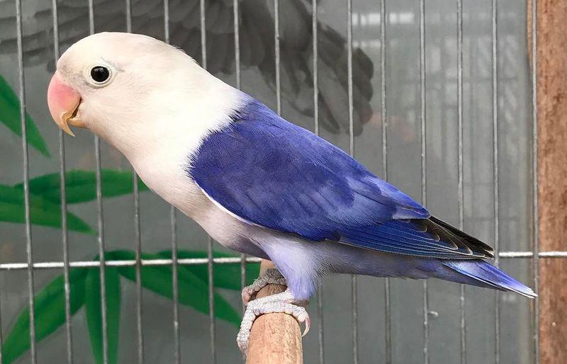 Lovebird paruh putih (pictastar.com)