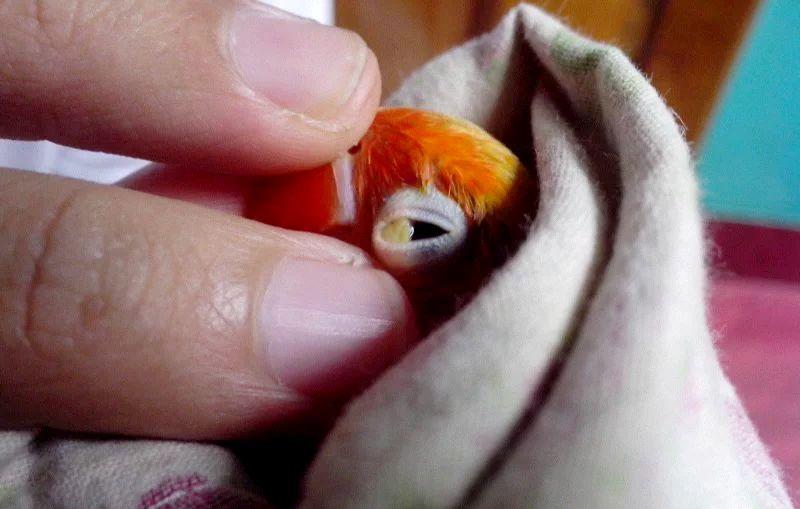 Cara Mengobati Penyakit Snot Lovebird Secara Tradisional dan Pengobatan Kimia