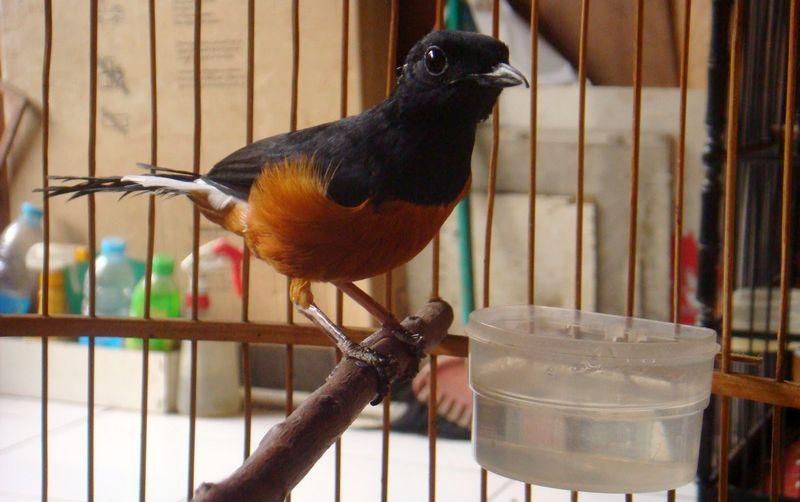 Air minum burung yang bagus (majalahkicau.com)