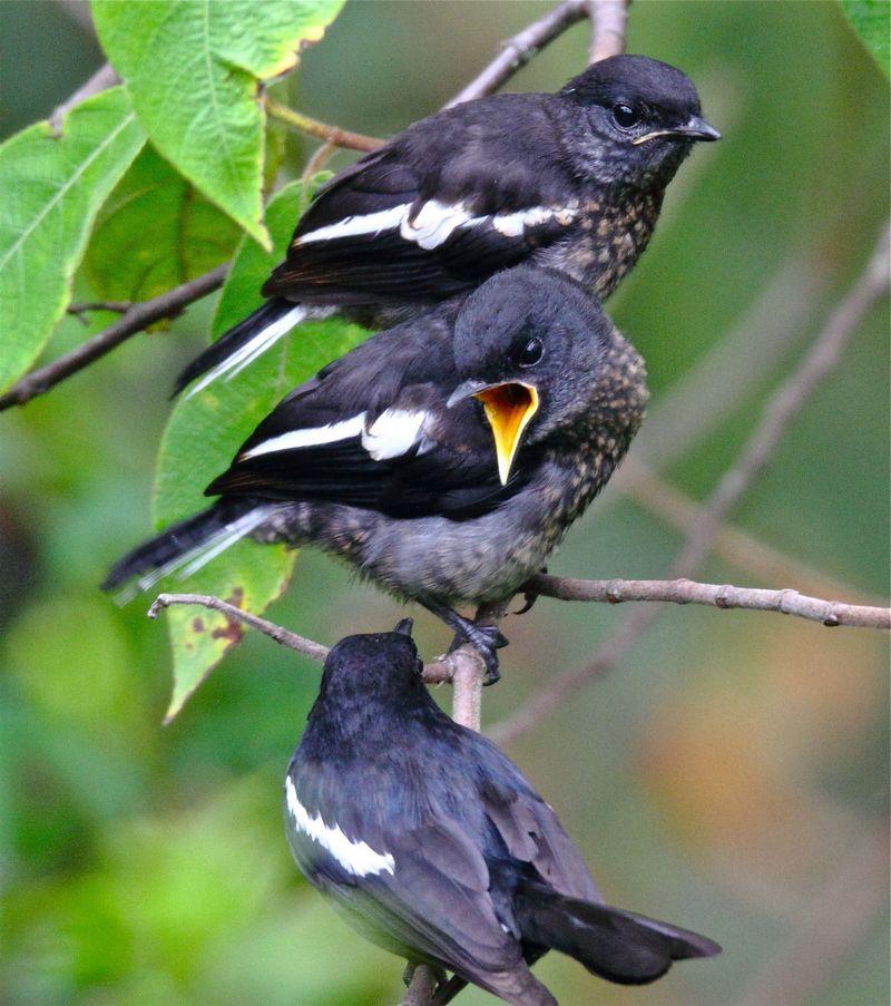 Anakan burung Kacer jantan dan betina masih trotol (borneobirdphotography.wordpress.com)