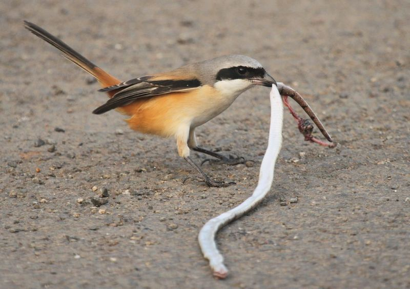 Burung Cendet makan ular predator (rps-science.org)