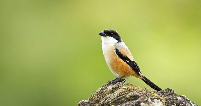 Burung Cendet terlalu banyak diberi jangkrik (WorldNature-Photos.com)