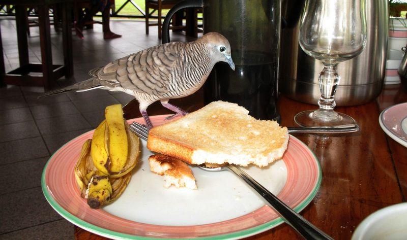 Burung Perkutut Jinak makan pisang dan roti (jupacami.net)