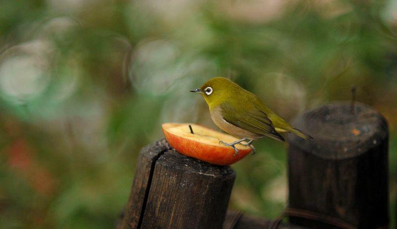 Burung Pleci suka makan buah apel (tokyobling.wordpress.com)