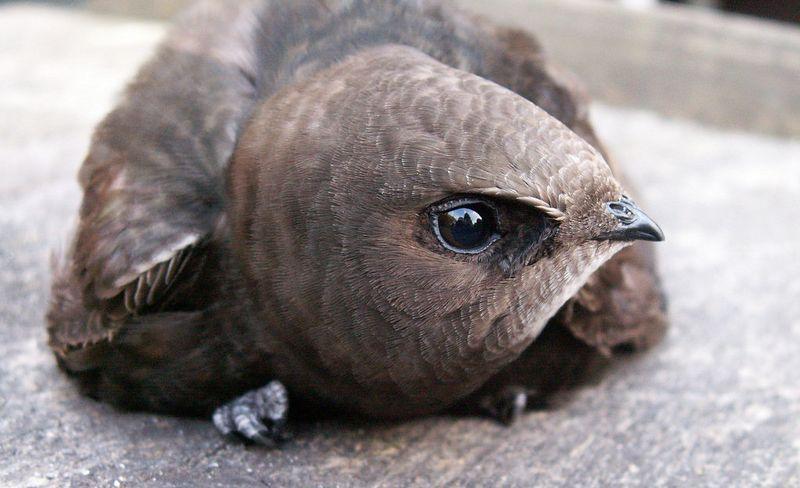 Burung Walet tidak bisa berdiri tegak (picssr.com)