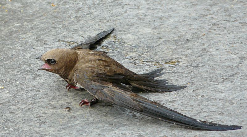 Burung Walet tidak bisa mematuk dan tidak bersarang di pohon (mapio.net)