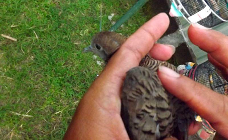 7 Cara Pijat Burung Perkutut yang Benar Sebelum Lomba