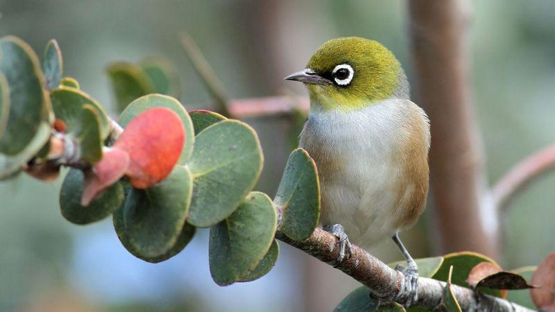 Gambar burung Pleci di hutan (steemit.com)