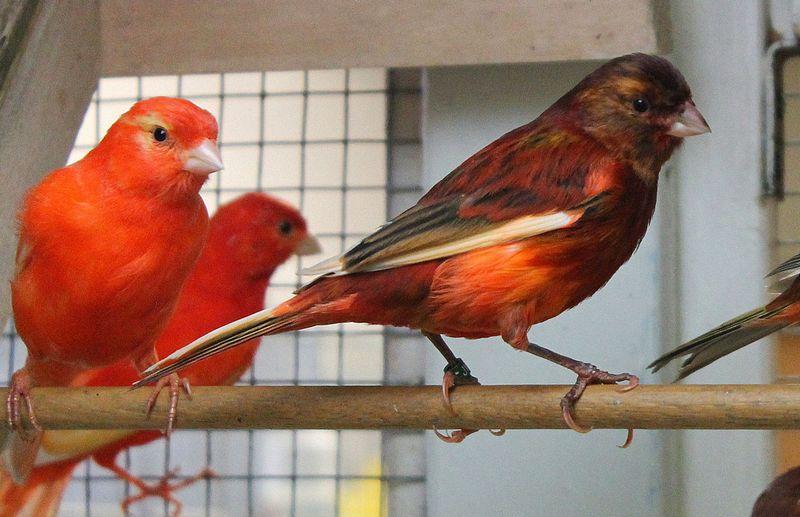 Jenis burung Kenari Merah (pinterest.com)