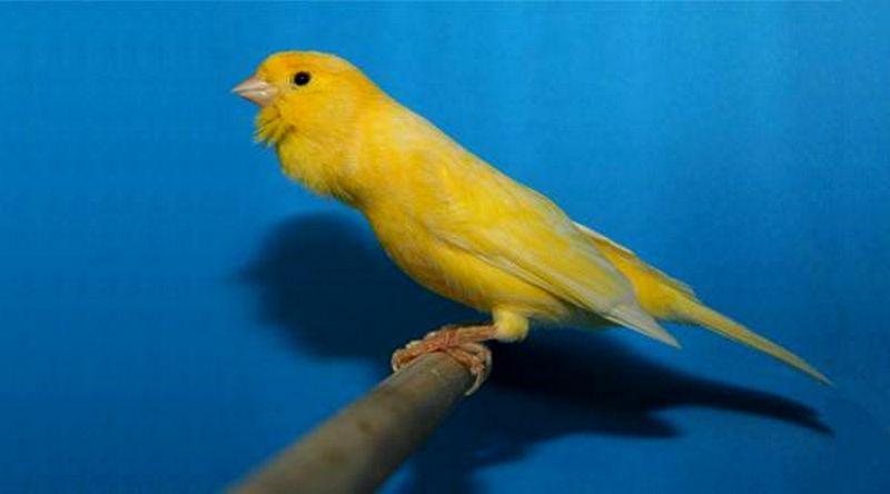 Jenis burung Kenari Roller (petpassion.tv)