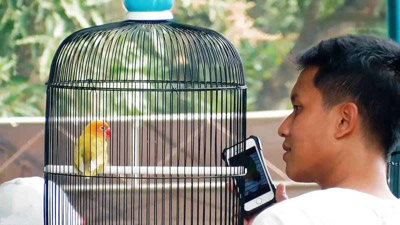 Terjual Rp 350 Juta, Lovebird Cepot Sudah Ngekek Sebelum Digantang