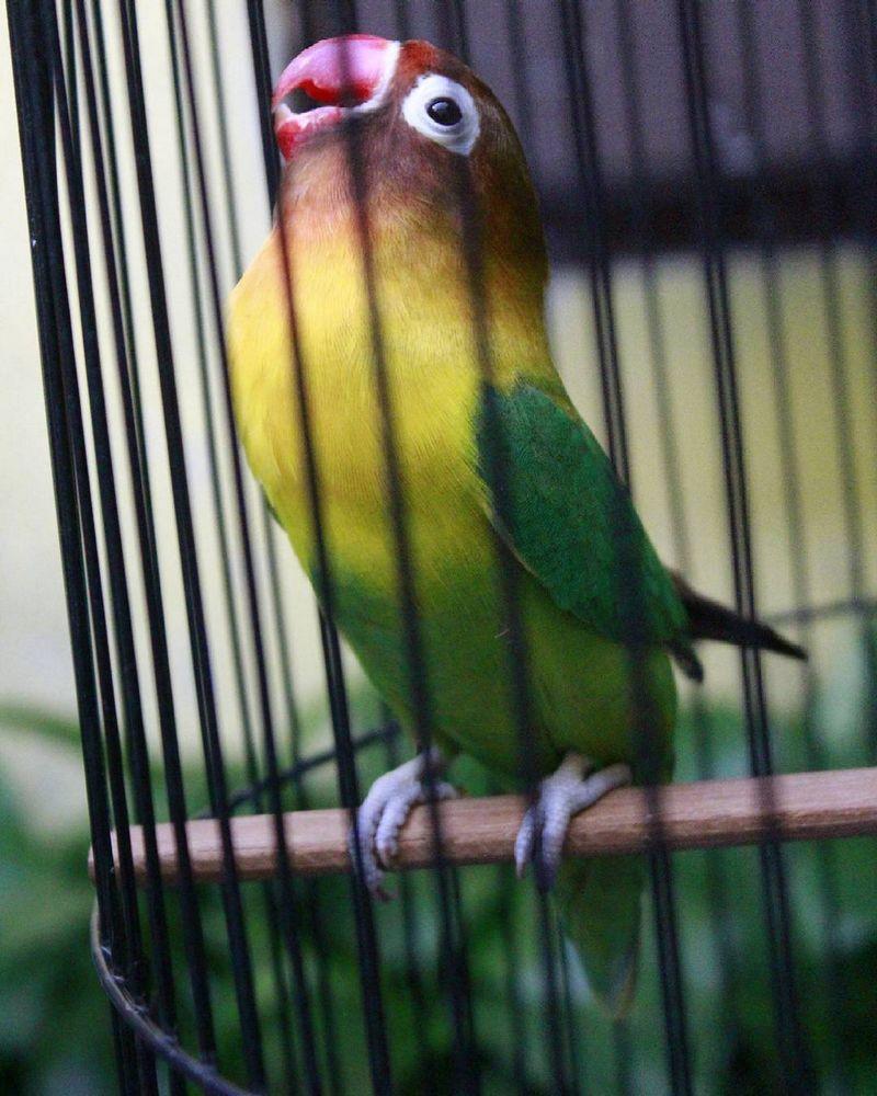 Lovebird Shae ngekek panjang (instagram.com)