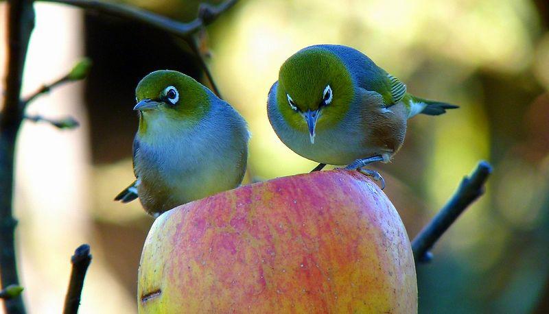 Manfaat buah apel untuk Pleci (redbubble.com)