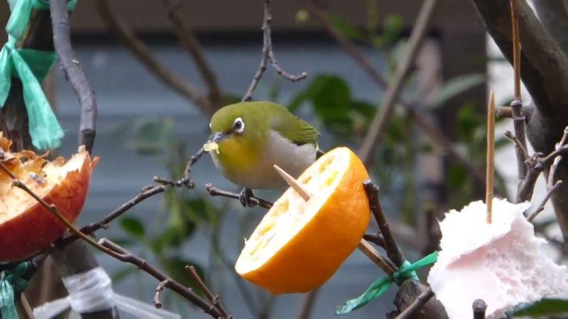 Pakan buah untuk Pleci lomba (youtube.com)