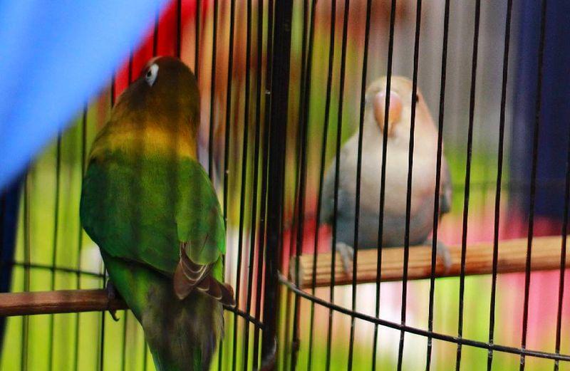 Awalnya Lovebird Ngekek 10 Detik, dengan Settingan Ini Jadi 2 Menit
