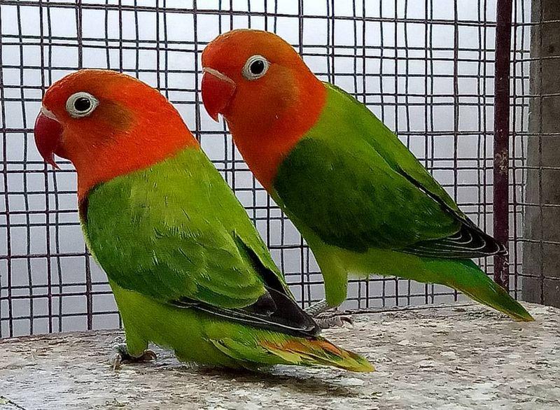 Asal Usul Lovebird Biola Dan Ciri Cirinya Burungnyacom