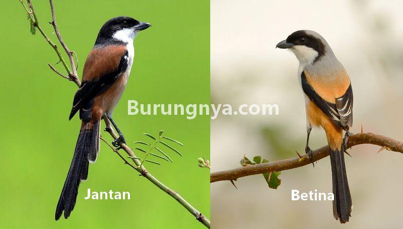 Download 92+  Gambar Burung Pentet  Paling Bagus Gratis