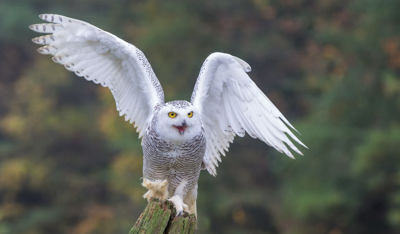 10 Ciri dan Fakta Menarik tentang Burung Hantu Putih