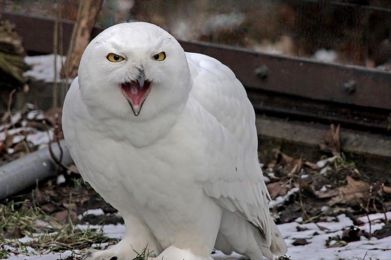 Burung Hantu Putih (reconnectwithnature.org)