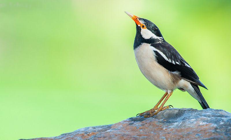 Burung Jalak Suren gacor (flickr.com)