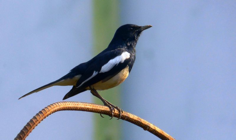 Burung Kacer diam karena stres (wiienvis.nic.in)