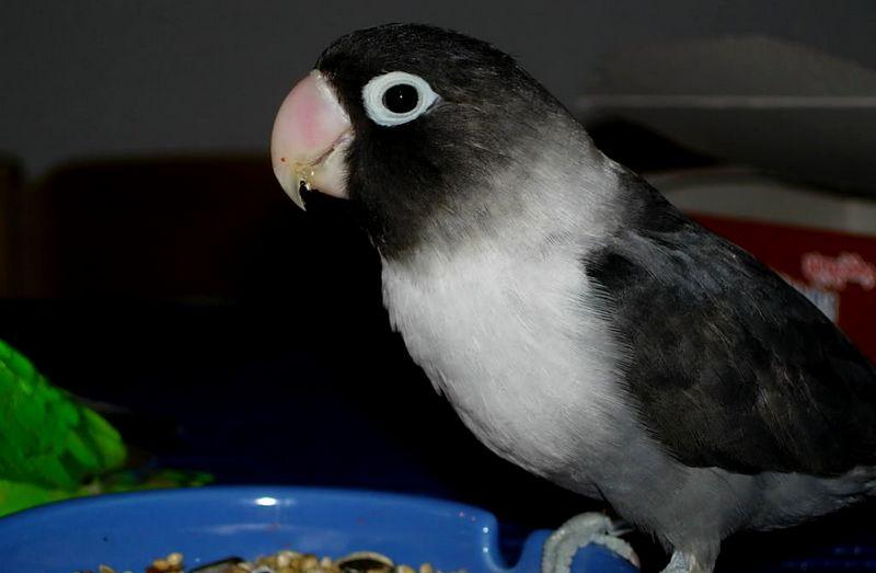Unduh 440+ Foto Gambar Burung Lovebird Umur 5 Bulan HD Paling Bagus