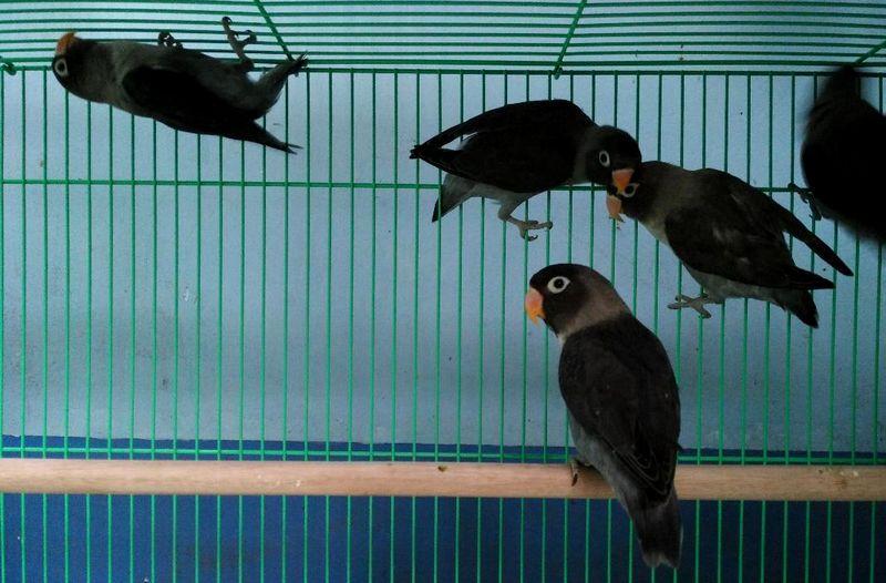 Harga Lovebird Batman (jualo.com)