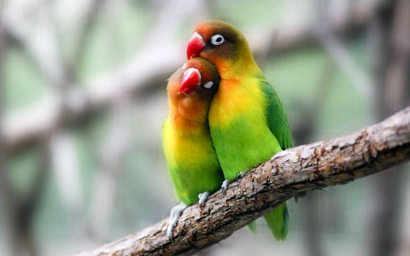 Indukan Lovebird dewasa yang bagus (thespruce.com)