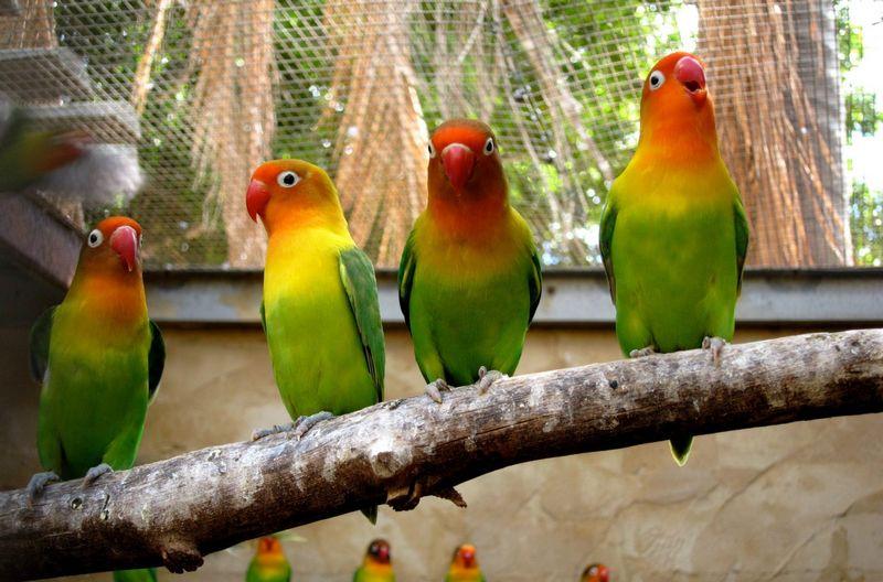 Indukan Lovebird yang bagus untuk Ternak (australias.guide)