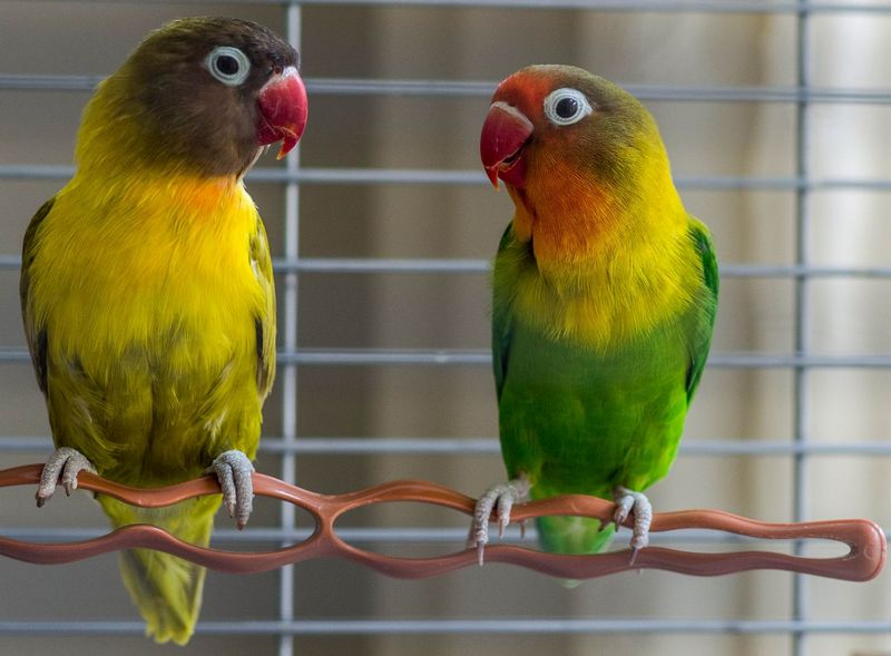 Lovebird GS (pets4homes.co.uk)