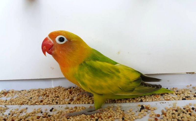 Lovebird Green Series atau blorok (perawatanburung.com)