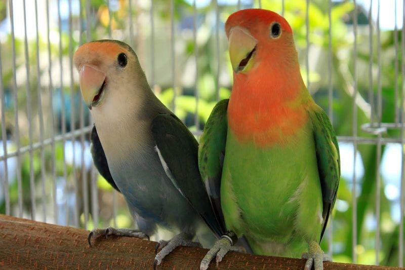 66+  Gambar Burung Lovebird Lokal HD Paling Unik Gratis