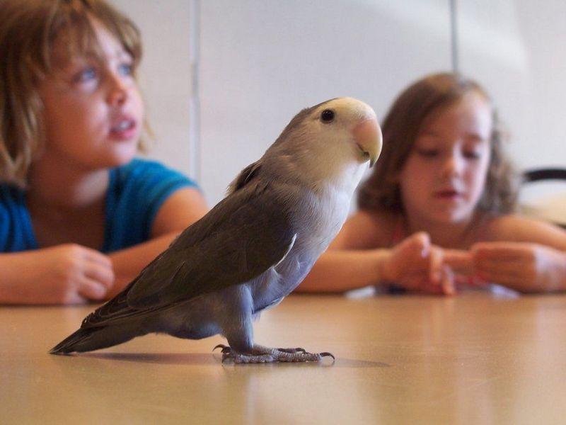 Lovebird import Amerika (backyardchickens.com)