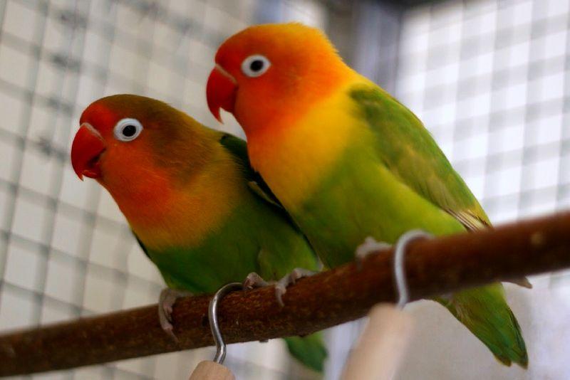 Lovebird jantan dan betina untuk indukan ternak (singing-wings-aviary.com)