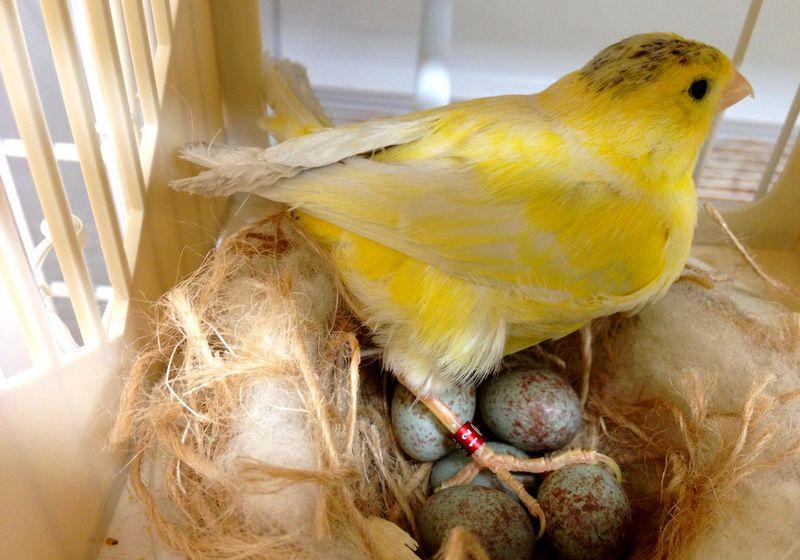 Telur burung Kenari (fancycanary.com)