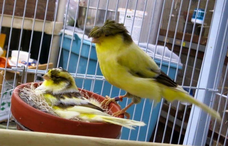 Ternak Kenari untuk pemula paling lengkap dan benar (canarytales.blogspot.com)