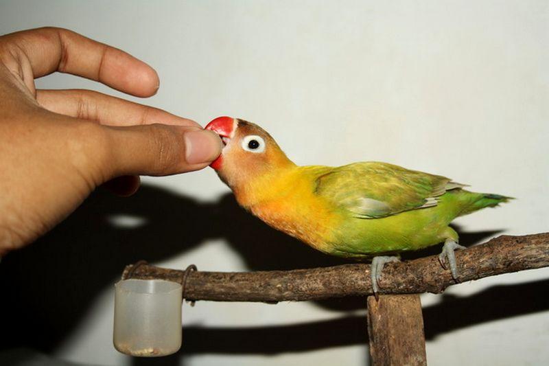 Vitamin Lovebird yang bagus (ramelancar.blogspot.co.id)