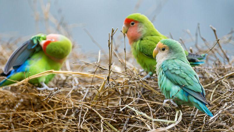 Warna Lovebird Impor lebih bagus (flickr.com)